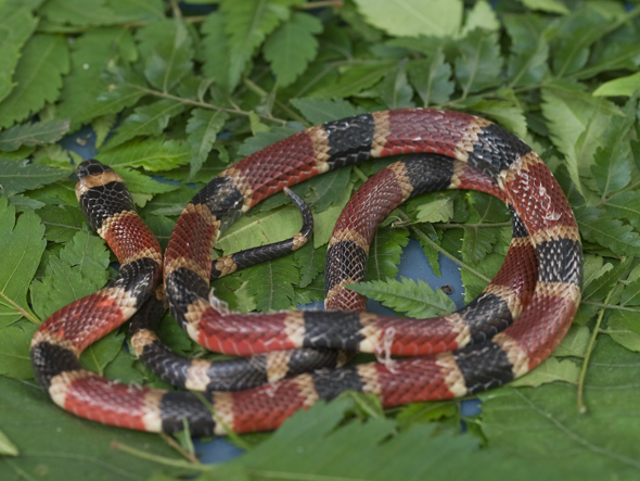 Coral snake, Micrurus nigrocinctus, its color pattern can vary from two-colored to three-colored with black, yellow and red banding