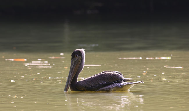 Pelecanus occidentalis Brown pelican Auto Safari Chapin Aug 24 2015 SM 8042