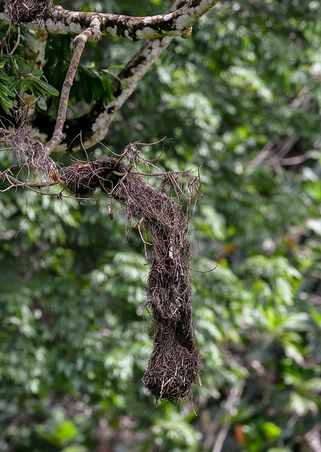 Psarocolius wagleri Chestnut headed oropendola nest photographs NH 2912