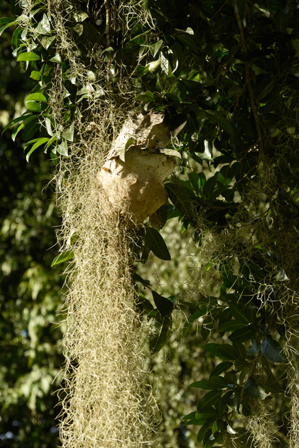 arboreal-ant-nest-Yaxha-park-camp-kitchen-area-Peten-Guatemala-Hellmuth-photo-FLAAR
