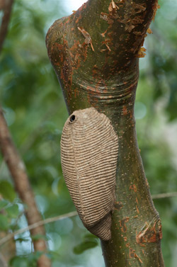 Yaxha arboreal paper wasp nest yellow wasps