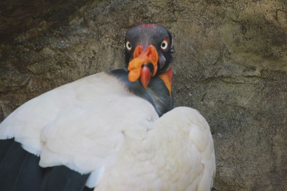 King vulture, Sarcoramphus papa, at La Aurora National Zoo. Photo by Sofia Monzon, September 2011
