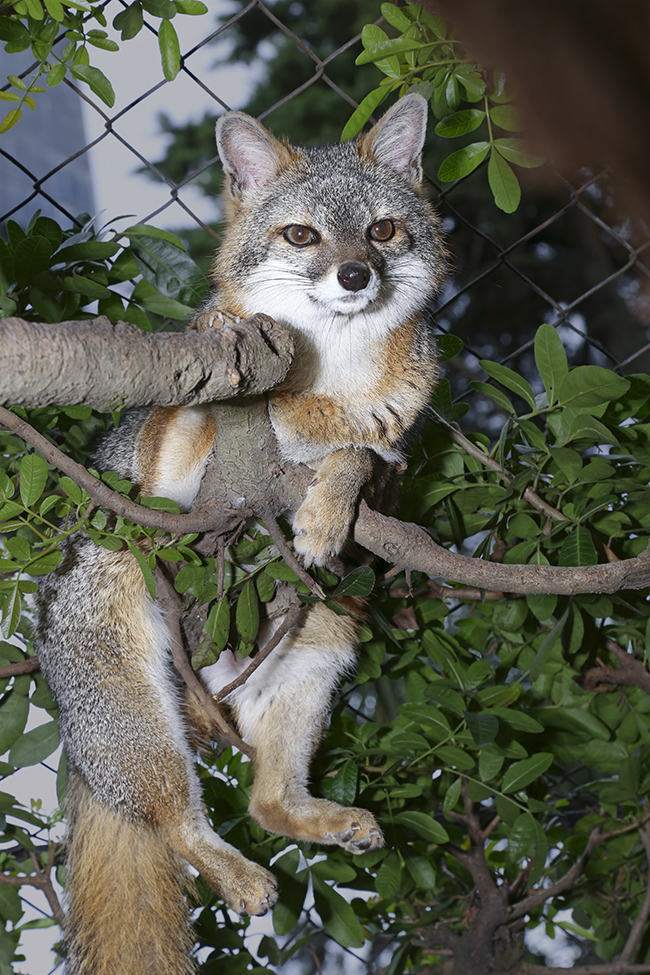 Gray Fox, At Parque Nacional La Aurora