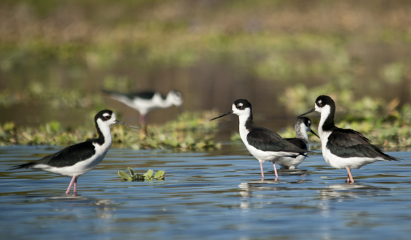 Black necked stilt Himantopus mexicanus Photo by Jaime Leonardo at Canal de Chiquimulilla river Monterrico Guatemala