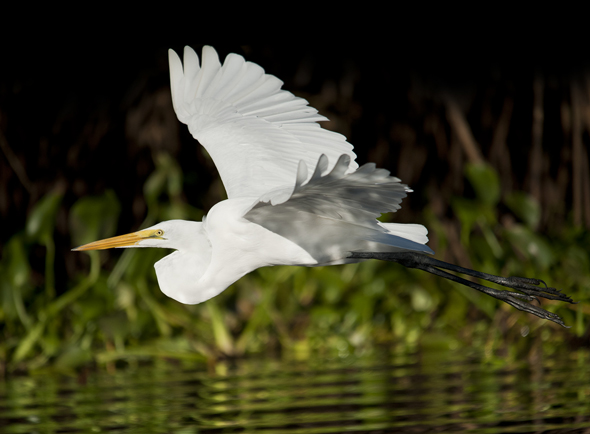 Great egret, Ardea alba, flying across the river in Canal de Chiquimulillla Monterrico, Guatemala, Photo by Jaime Leonardo