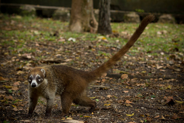 One of the coatis rescued by Mrs. Roxana Ortiz at the Tikal Inn Hotel. Photo by Sofía Monzón with a Canon EOS Rebel T2i. Copyright FLAAR 2012