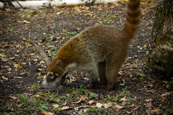 Image of a white-nosed coati showing long snout and black nose. Taken at Tikal, March 2012. Photo by Sofía Monzón with a Canon EOS Rebel T2i. Copyright FLAAR 2012