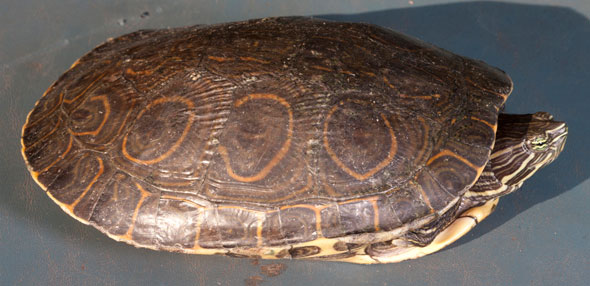 Mesoamerican slider turtle, Trachemys scripta. The underside of the shell is yellow with dark markings in the center of each scute. Photo by Nicholas Hellmuth, Monterrico, Guatemala. September 2011.