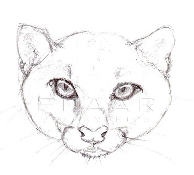 Front view of the head of a Jaguarundi, illustration by Diana Sofía Zea. FLAAR image archive