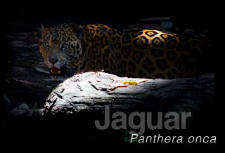 The Jaguar, Panthera onca, one of the biggest and most