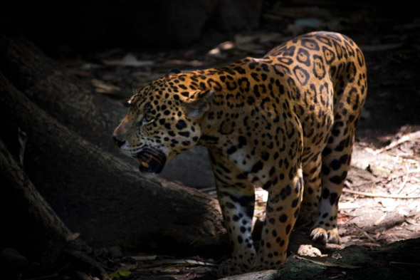Mayan terms for jaguar are Ek-sush, Zac bolay. Image by Sofía Monzón using a Canon EOS Rebel T2i with a EF-S55-250mm f/4-5.6 IS lens. AutoSafari Chapin, July 2012.