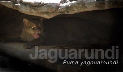 Jaguarundi, medium-sized feline. FLAAR image archive
