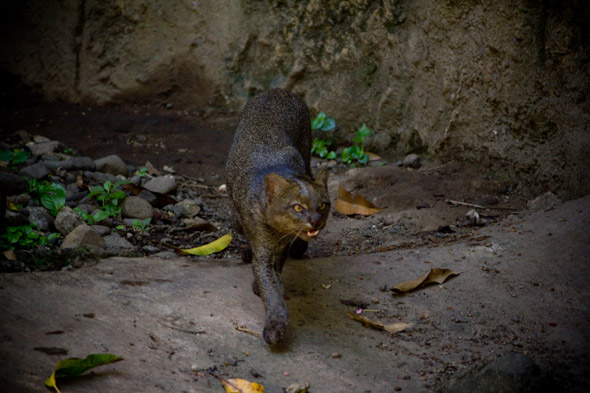 Jaguarundi, Puma yagouaroundi. Photography by Sofía Monzón, using a Canon EOS Rebel T2i. Autosafari Chapin, July 2012.