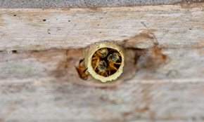 Stingless bees at Finca Buenos Aires, Retalhuleu. Photography by Dr. Nicholas Hellmuth