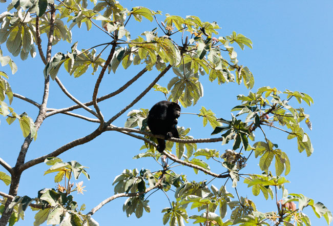 Alouatta pigra Howler monkey Exmibal Izabal Guarumo tree 10K0023