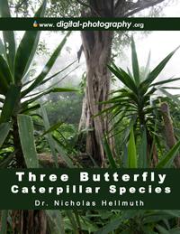 Butterfly-caterpillar-species-Finca-El-Chilar-Guatemala-Nicholas-Hellmuth-FLAAR