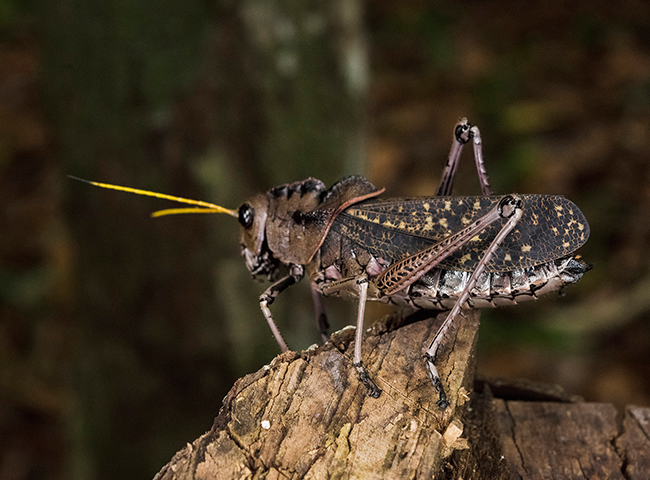 Taeniopoda-sp-family-romaleidae-grasshopper