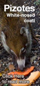 White-nosed coatimundi, Nasua narica, one of the edible animals for the Maya people.
