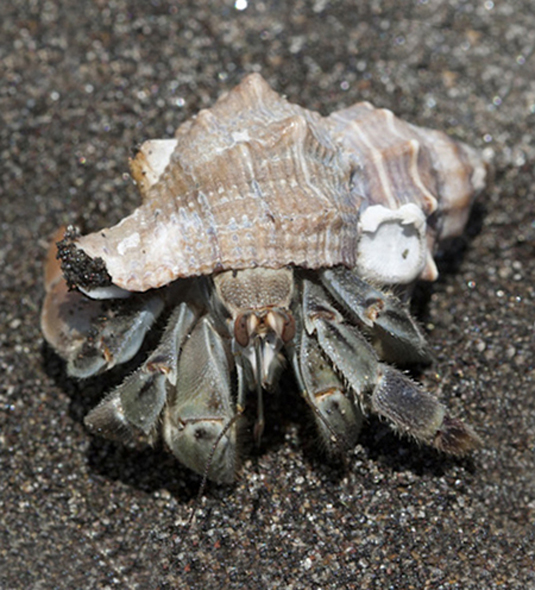 Hermit crab aout of the shell, Paroguideos decaop crustacean, FLAAR images Juyl 2011
