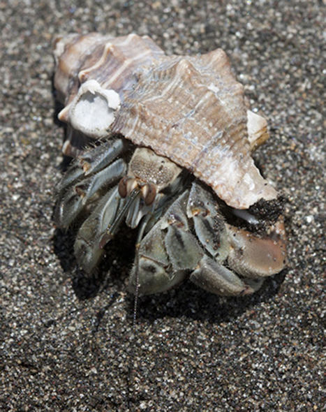 Hermit crab walking at Monterrico beach, FLAAR photo archive, July 2011