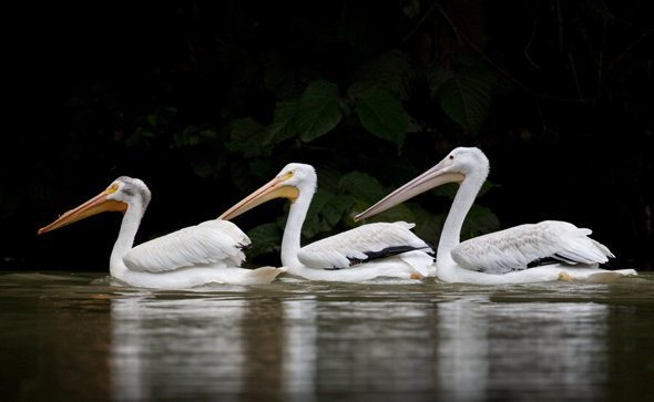 American White Pelican, Pelecanus erythrorhynchos swimming in a false lake in AutoSafari Chapin Park, Guatemala. Photo by Nicholas Hellmuth.