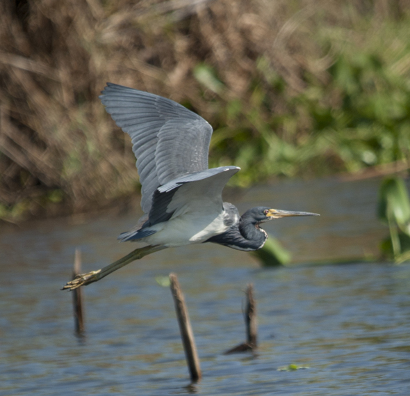 Tricolored heron, Egretta tricolor flying across Canal de Chiquimulilla, Monterrico, Guatemala. Photo by Jaime Leonardo