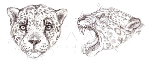 Jaguar, Panthera onca. Front and side view of the head. Illustration by Diana Sofía Zea, Copyright FLAAR 2012.