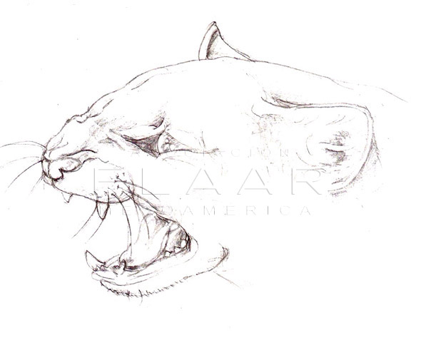 Side view of the head of a Jaguarundi, showing the feline's teeth. Illustration by Diana Sofía Zea. FLAAR Image archive