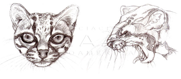 Margay, <em>Leopardus wiedii</em>, front and side view of the head. Illustration by Diana Sofía Zea, Copyright FLAAR 2012.