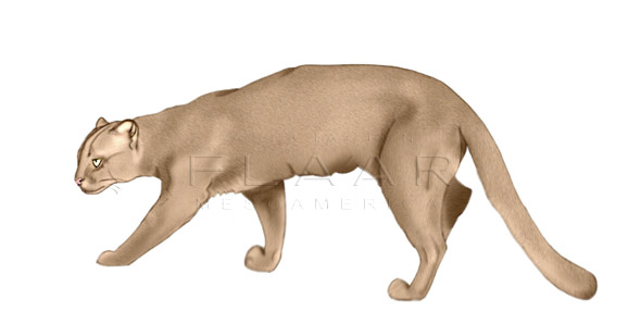 Full-body illustration of a jaguarundi by Diana Sofía Zea. Copyright FLAAR 2012.