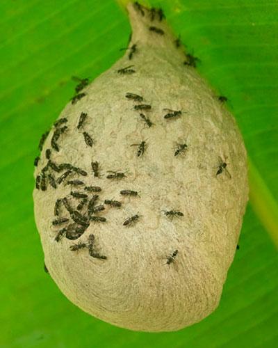 wasp-nest-trail-to-Dos-Pilas-Arroyo-Petexbatun-Sayaxche-Peten-Guatemala